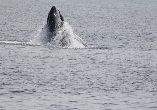 The best time to see a whale varies on the season depending on factors such as the amount of food present at a certain time. (Photo: Courtesy of the Cape May Whale Watch & Research Center)