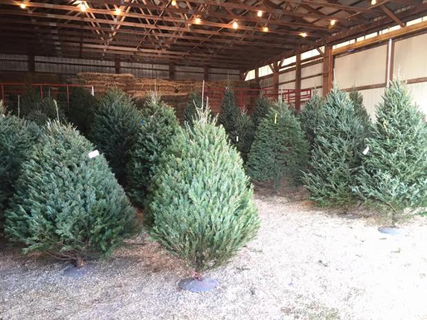 Everitt Farms has created an indoor forest for customers to select from.  ~Courtesy of Everitt Farms
